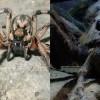 Новый вид паука-волка назван именем паука Арагога из «Гарри Поттера»