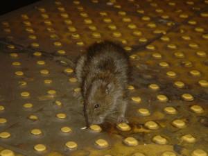 крысы Нью-Йорка, Крысы: исследование истории и местообитания самых неприятных жителей города, Роберт Салливан, экранизации книг